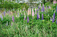 Wild lupins (Lupinus perennis) groing on side of road, Petite Riviere, Nova Scotia, Canada,