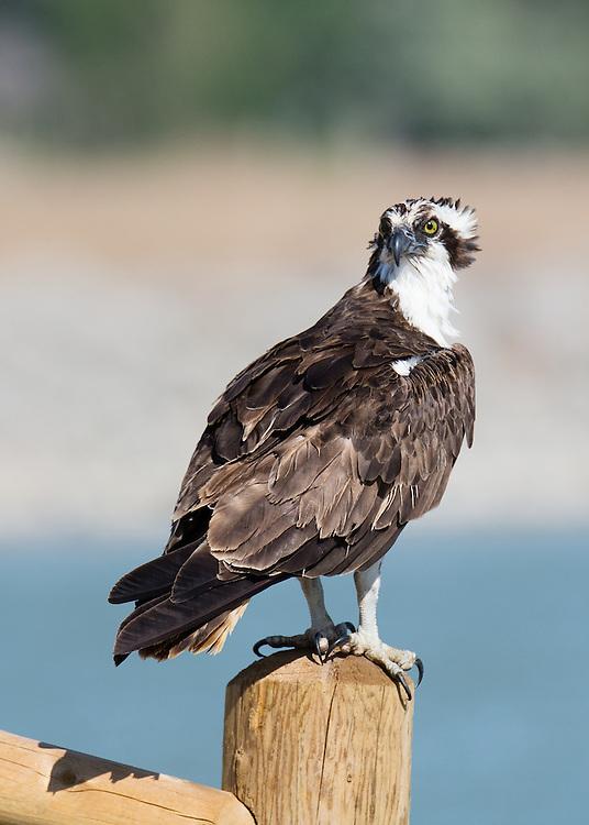 Osprey on fence post, Lagerman Reservoir, Longmont, Colorado