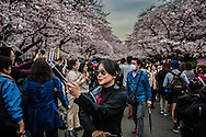 "A lucky tourist snaps a selfie amidst the crowd at Ueno Park, because the opening of the ""sakura"", cherry blossoms, is notoriously unpredictable.  I am often asked, when is the best time to book a trip to Japan to see the cherry blossoms.  Generally they open at the end of March  but are completely dependent of the changeable spring weather in Japan.  The blossoms will not open if it is colder than 10C (50F).  This year the blossoms began to open as a cold snap set in, completely halting the blossoms opening for a week.  The fragile blossoms generally last a week to 10 days, depending on how much rain and wind which can pull down pollenated blossoms in a single day.  Ueno Park, Tokyo, Japan."