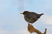 American dipper perched above a pond at sunrise in late fall. Yaak Valley in the Purcell Mountains, northwest Montana.