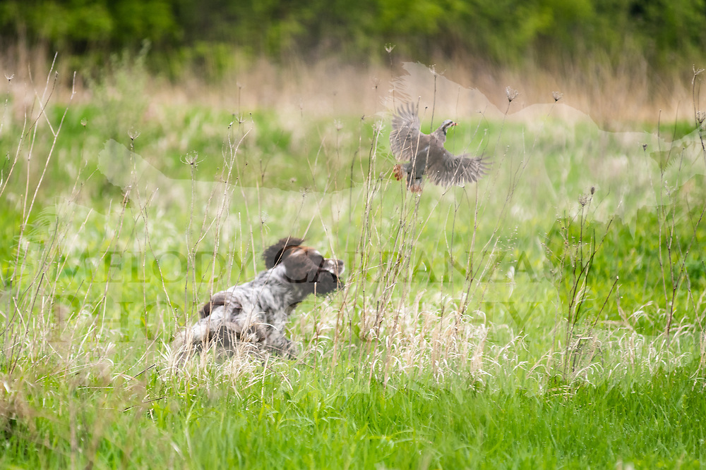 Photography was made during the 2018 Randy Cooley Hunt Test, on May 19, 2018, at the Master field.  The test took place at Rock River Kennels, in Beaver Dam, WI.  Diffuse light in the morning. The sun came out in time for water work, both days.