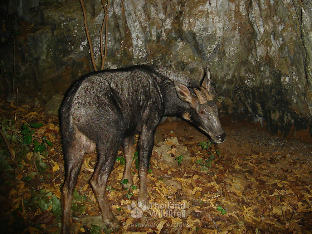 Wild Serow, Capricornis sumatraensis, photographed with an automated camera on one of Uthai Thani's (Thailand) limestone karts.