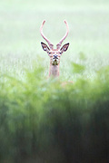 © Licensed to London News Pictures. 28/05/2014. Richmond, UK. A deer looks up from protective bracken.  Wet weather in Richmond Park today 28th May 2014. Photo credit : Stephen Simpson/LNP
