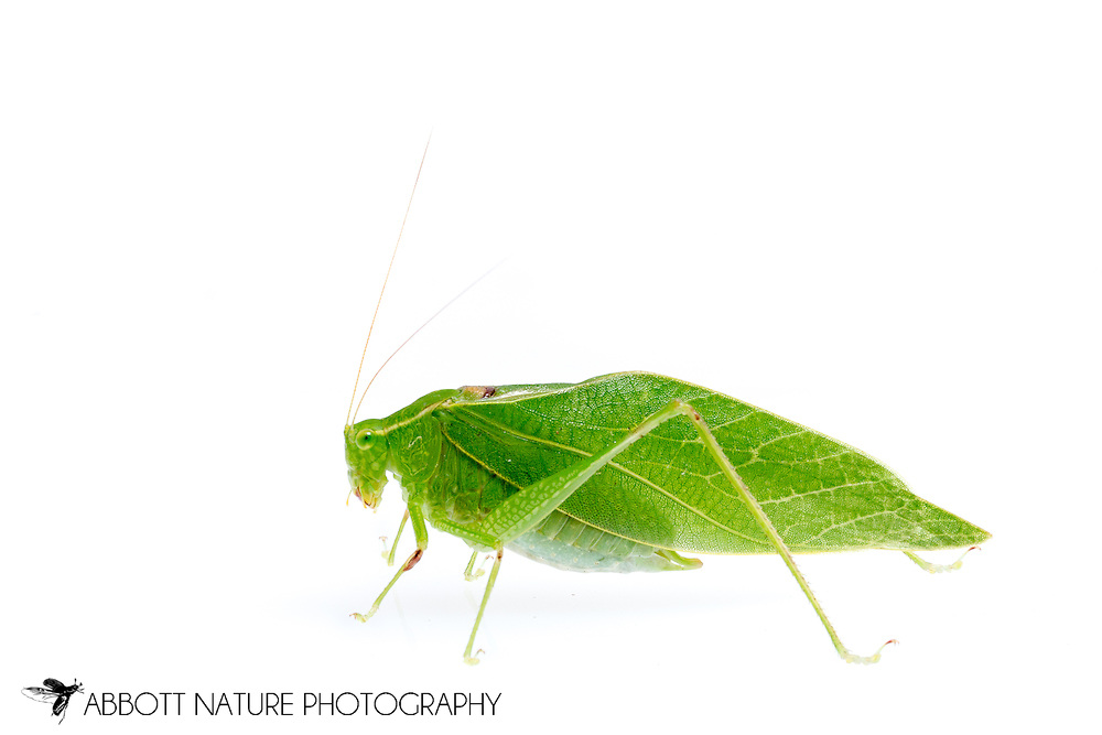 Greater Angle-wing Katydid (Microcentrum rhombifolium)<br /> TEXAS: Jasper Co.<br /> Brookeland/Lake Sam Rayburn @ 505 Co Rd 212<br /> 21.July.2015<br /> J.C. Abbott #2768 &amp; K.K. Abbott