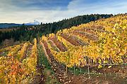 Phelps Creek Vineyards and Mount Hood; Hood River Valley, Oregon.