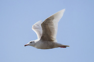 Glaucous Gull photos