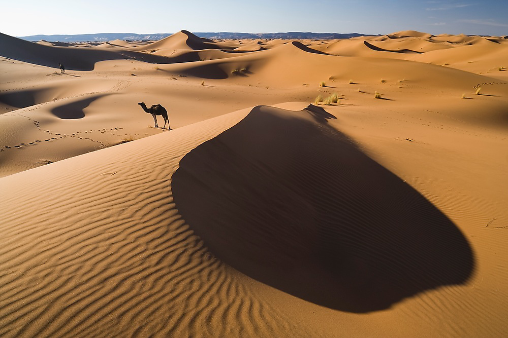 A lone camel walks in search of food among the large sand dunes of Erg Zehar near M'hamid, Morocco.