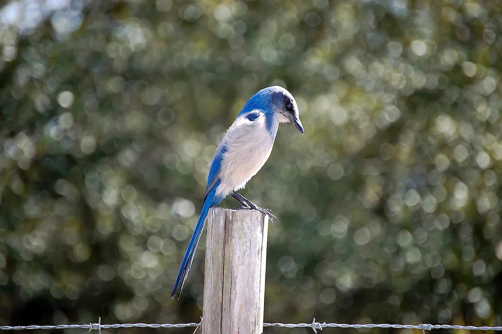Scrub jay in Highlands County near Lake June-in-Winter. This threatened bird lives primarily in Central Florida, but can also be found in more coastal areas in Sarasota County.
