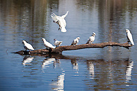 Little Corella sitting on a log in the water.