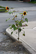 Sunflow growing by a street on a sidewalk. sunflower, street, urban, sidewalk, flower, leaf, juxtaposition<br />