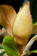 Southern Magnolia flower bud just beginning to open