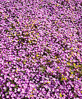 I use high resolution photo equipment to show the details in this pink wildflower patterns image inCleveland National Forest.