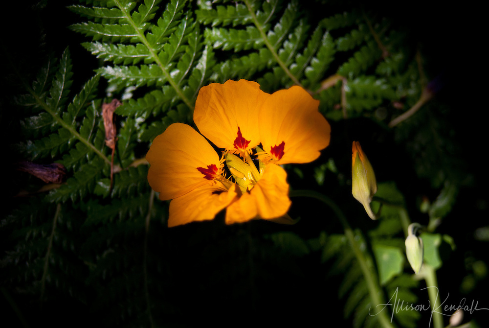 A bright yellow and red nasturtium blooms against a fern in a shady garden corner