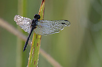 Dragonfly covered in dew at dawn, Nylsvlei, Limpopo, South Africa