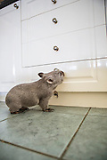 Common Wombat <br /> Vombatus ursinus<br /> Seven-month-old orphaned joey (mother was hit by car) in kitchen foster home<br /> Bonorong Wildlife Sanctuary, Tasmania, Australia<br /> *Captive- rescued and in rehabilitation program