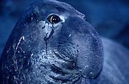 USA, Vereinigte Staaten Von Amerika: Nördlicher See-Elefant (Mirounga angustirostris), Portrait eines subadulten See-Elefantenbullen bei Nacht, große Augen typisch für nachtaktive Tiere, notwendig auch für gutes Sehvermögen unter Wasser, Strand direkt neben California State Route 1, San Simeon, Kalifornien | USA, United States Of America: Northern Elephant Seal (Mirounga angustirostris), portrait of a subadult bull elephant seal at night, typical big eyes of night acitve animals, also necessary for well seeing under water, beach directly next to Cabrillo Highway 1, San Simeon, California |