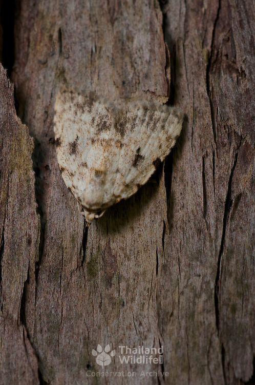 A forest moth showing the its abilities to camoflague in the day by matching a host tree.