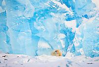 Polar Bear, Ursus maritimus, Spitsbergen, Svalbard