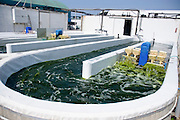 Israel, Coastal Plains, Kibbutz Maagan Michael, Production of Nannochloropsis alga. The Algae is then used to feed the fish in the Fishery