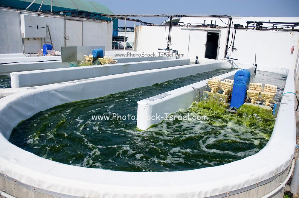 Israel, Coastal Plains, Kibbutz Maagan Michael, Production of Nannochloropsis alga. The Algae is then used to feed the fish in the Fishery