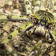 Lichen Huntsman Spider (Heteropoda boiei) in Lam Nam Kra Buri national marine park, Thailand
