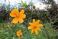 Wild orange daisies growing in the hills above San Juan Cosala, Jalisco, Mexico