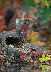 Eekhoorn;Red Squirrel;Sciuris Vulgaris
