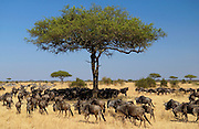 Herd of Blue Wildebeest, Grumeti, Tanzania
