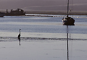Heron, Great Blue Heron, California, Morro Bay