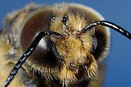 DEU, Deutschland: Biene, Honigbiene (Apis mellifera), Portrait einer Drohne (männliche Biene), Drohnen sind erkennbar an ihren grossen Augen, die sehr viel grösser sind als bei Arbeiterinnen oder der Königin, Bienen besitzen zwei grosse Facettenaugen und drei kleine Punktaugen, Bienenstation an der Bayerischen Julius-Maximilians-Universität Würzburg | DEU, Germany: Bee, Honey-bee (Apis mellifera), portrait, close-up of a drone (male), drones are recognizable because of their much bigger eyes than workerbees (females) and the queen has, bees have two big facetteyes and three little pointeyes, Beestation at the Bavarian Julius-Maximilians-University Würzburg