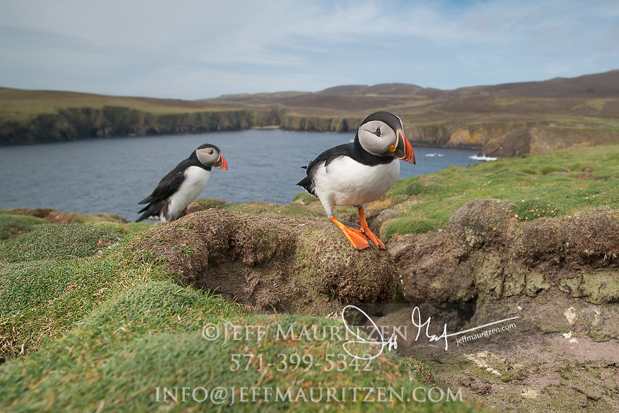 Two Atlantic puffins stand near  their burrows at the edge of a seaside cliff on Fair Isle, Scotland.