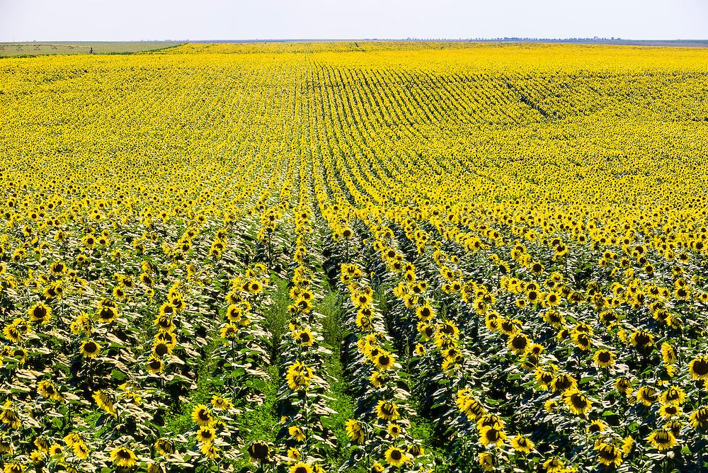 Sunflower fields, Grant (near the Colorado state line), near Goodland, Western Kansas USA.
