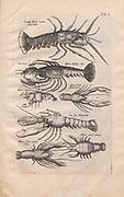 Lobsters Illustration from 'Historiae Naturalis De Exanguibus Aquaticis  libri IV' (Natural History of Sea animals book 4) by Johannes Jonston. Published 1665.