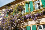 Weingut bewachsen mit Glycenie (Blauregen), Deidesheim, Deutsche Weinstraße, Rheinland-Pfalz, Deutschland.