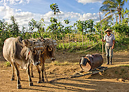 A man using oxen to drag a sled with a barrel of water in Pinar del Rio, Cuba.