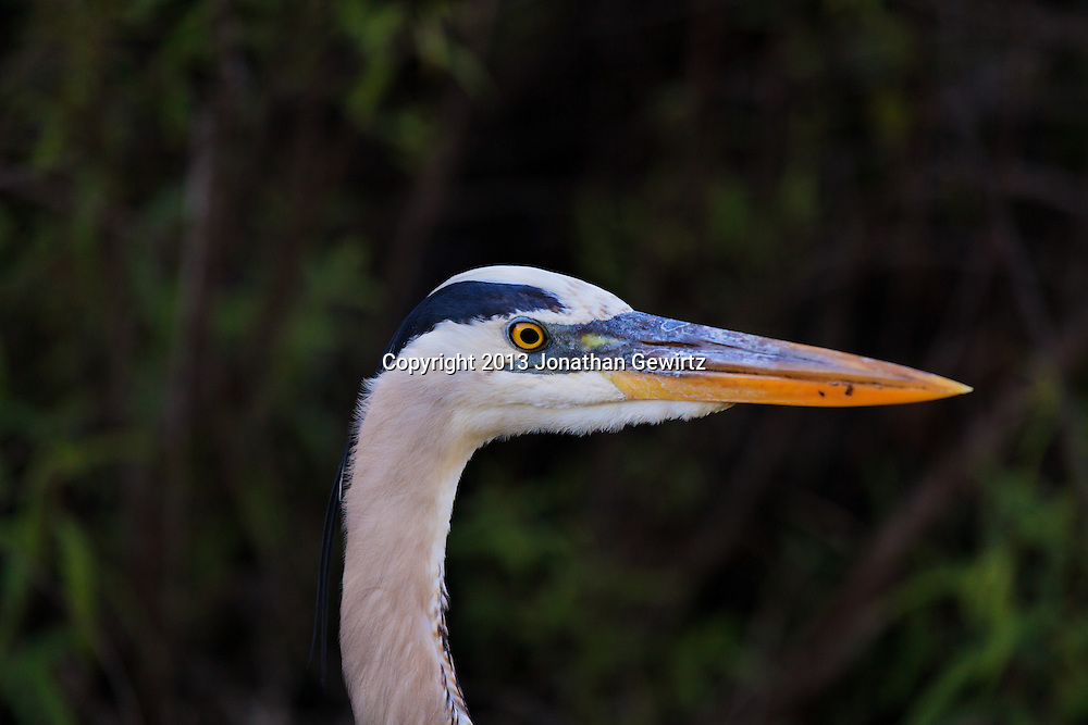 The head of a Great Blue Heron (Ardea herodias) that is stalking fish in a canal in the Shark Valley section of Everglades National Park, Florida. WATERMARKS WILL NOT APPEAR ON PRINTS OR LICENSED IMAGES.