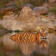 Tigress Photographed in the golden evening light at Corbett Tiger Reserve by Sagar Gosavi.