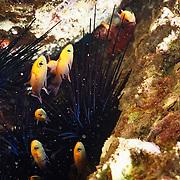 New born fish seeking protection.within sea urchins..Cozumel, Quintana Roo..Mexico.