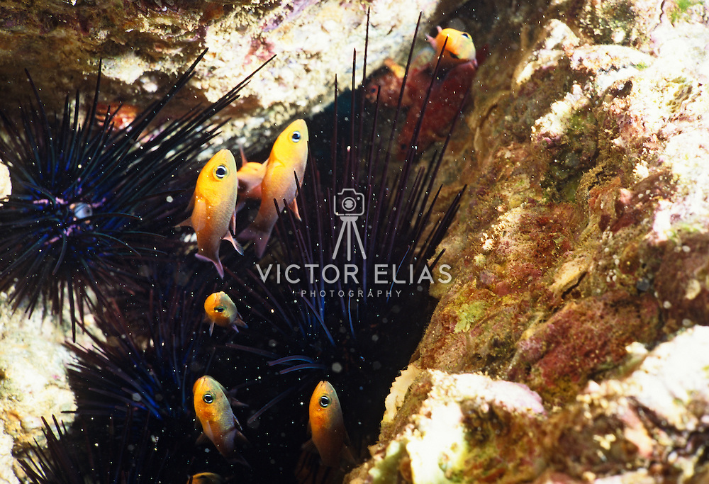 New born fish seeking protection.within sea urchins..Cozumel, Quintana Roo..Mexico.