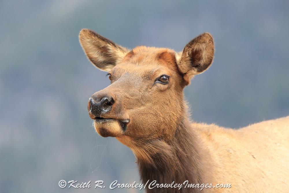 Close-up of cow elk on alert.