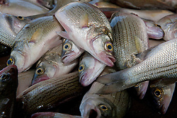 Pile of fresh white bass or sand bass (Morone chrysops)