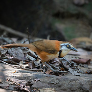 The lesser necklaced laughingthrush (Garrulax monileger) is a species of bird in the family Leiothrichidae.