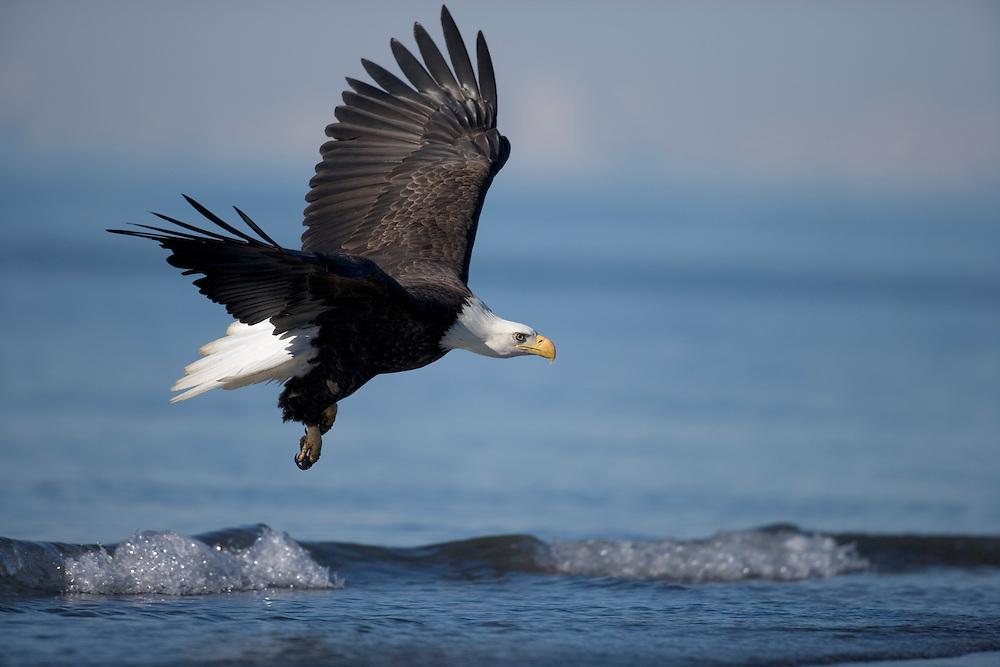 USA, Alaska, Homer, Bald Eagle (Haliaeetus leucocephalus) glides just above Kachemak Bay on winter afternoon