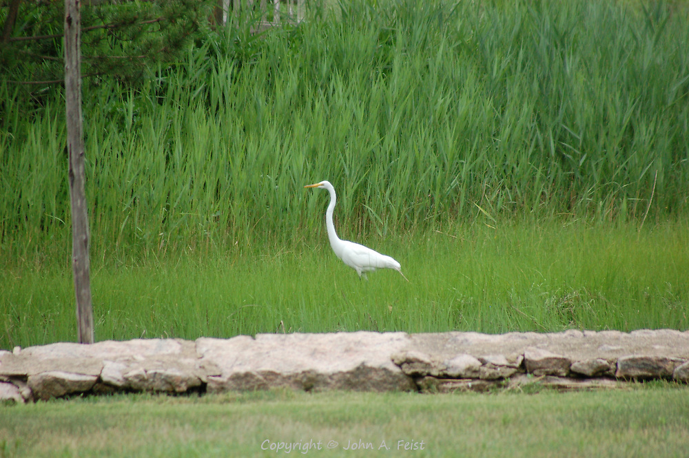 I was walking into town in Stone Creek CT when I looked to my left and saw this white crane among the rushes.
