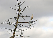 A great egret posting sentinel on a dead tree in a Jekyll Island swamp.