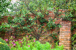 Prunus cerasus 'Morello'  AGM. Morello cherry fan trained against a brick wall