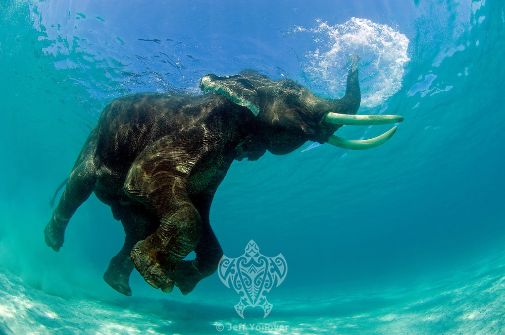 """C---this image is of a """"domesticated"""" male Asian Elephant, that was formerly used in the logging industry in India.  He now resides on Havelock Island, India with 2 female consorts, and takes an occasional swim from the beach with his handler (mahout).  He is not restrained while on the beach or in the water."""