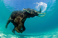 "C---this image is of a ""domesticated"" male Asian Elephant, that was formerly used in the logging industry in India.  He now resides on Havelock Island, India with 2 female consorts, and takes an occasional swim from the beach with his handler (mahout).  He is not restrained while on the beach or in the water."