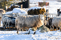 Norway, Klepp. Domestic sheep.
