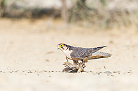 Lanner Falcon hunting sandgrouse, Kgalagadi Tranfrontier Park, Northern Cape, South Africa